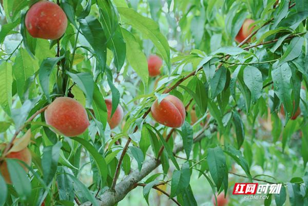 桃子皮色绯红、颜如胭脂,咬一口脆爽细腻、汁水满溢、齿颊留香。