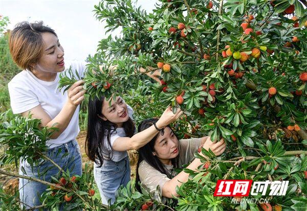 道县:杨梅熟 果农富