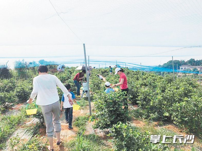 """5000亩本地蓝莓抢""""鲜""""上市 采摘期将持续至8月"""