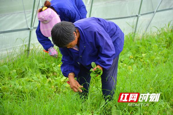 村民正在采摘蔬菜_副本.jpg