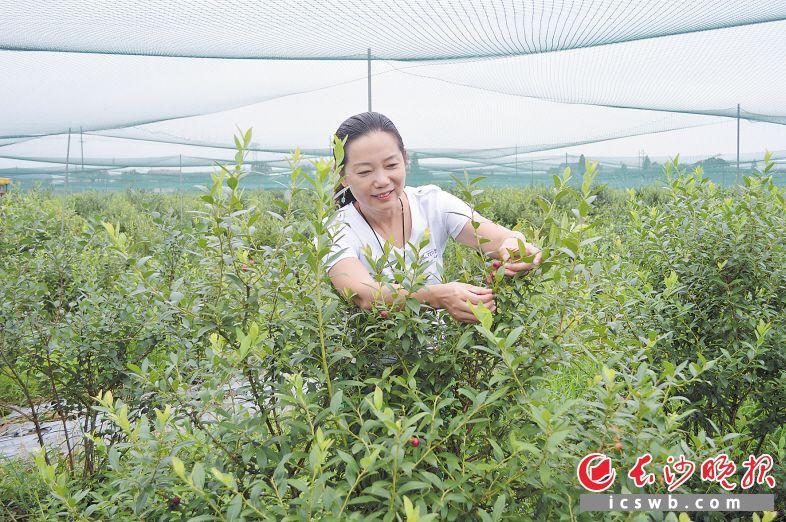 果之韵种植的红色蓝莓品种叫红粉佳人,深受女性和孩子的喜爱。  长沙晚报全媒体记者 朱华 摄