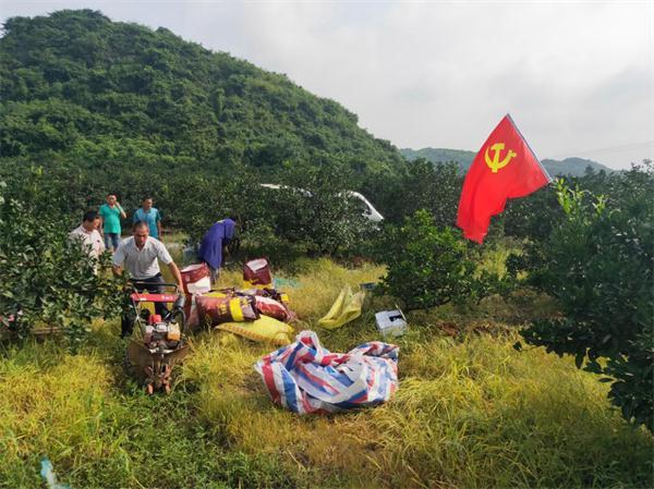 回龙圩:党员互助送温暖 橘园地里显真情