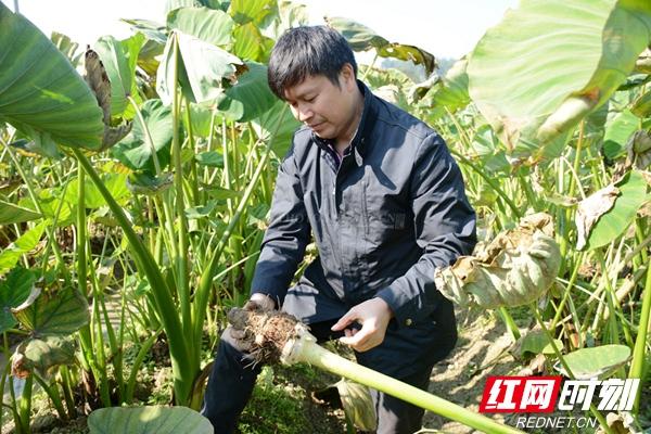 扶贫工作队队长张志龙正在香芋地里挖香芋。摄影:沈梦艳.jpg