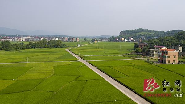 东安:双高稻田绿意浓