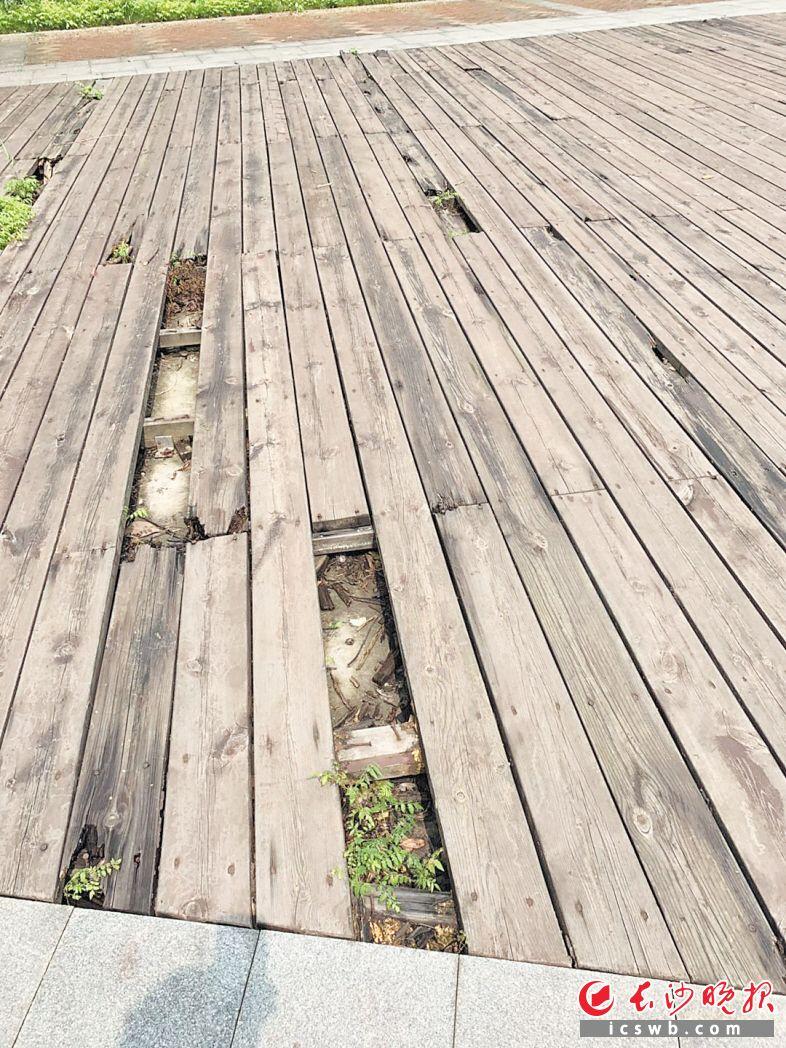 公园内不少木栈道断裂腐烂。长沙晚报全媒体记者 邓艳红 摄
