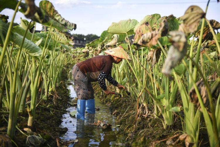 7月16日,在祁阳县白水镇柴塘村,农户管护受灾农作物。