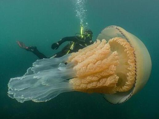 英国潜水者邂逅巨型桶状水母, 体型比成年人还大