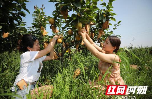 珠晖区:满园金果畅销路 产业花开富千家