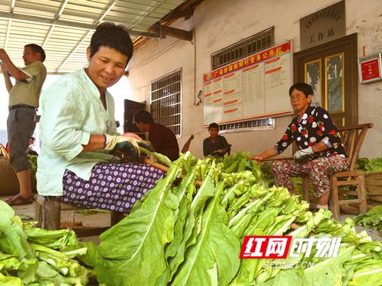 慈利县广福桥镇桃树村:400亩烤烟丰收在望