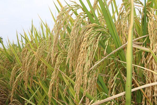 又到中稻收获季
