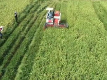 浏阳再生稻现场测产 头季亩产653.9公斤