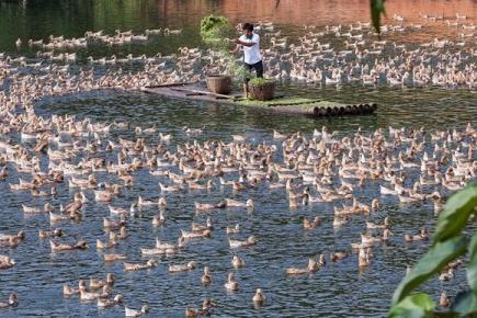 Linwu County Improves Duck Feeding Technology