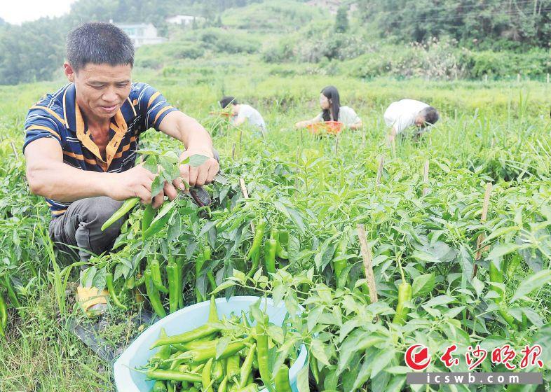 阙贱才是百亩扶贫蔬菜基地的股东之一,他正在扶贫干部的帮助下采摘辣椒。
