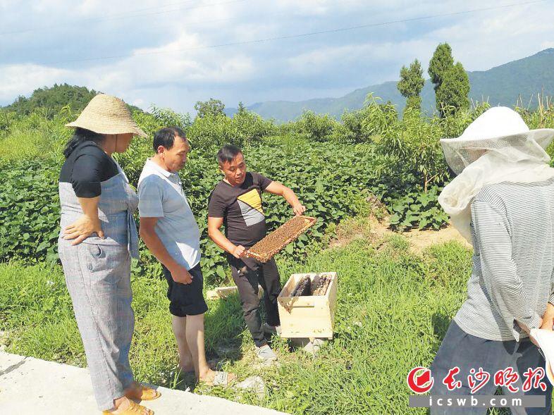 这些小蜜蜂将为龙山县洗车河镇兜底贫困户带来脱贫希望。   长沙晚报通讯员 邓望 全媒体记者 朱华 摄影报道