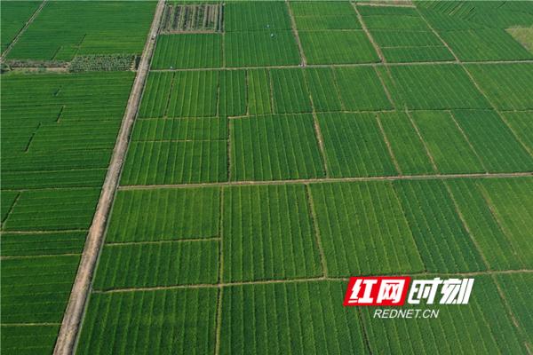 红网时刻永州9月7日讯(通讯员 梁利)9月7日,笔者在蓝山县塔峰镇湖叠村千亩稻种制种田内看到一派繁忙景象。
