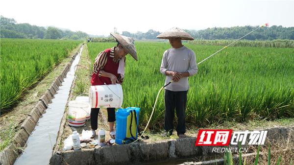 雷沅德告诉笔者,给稻种人工授粉,必须要有烈日。