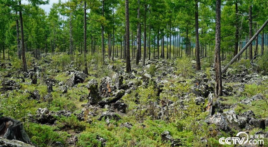 """1998年5月13日,阿尔山发生由雷击火引发的特大森林火灾,过火面积达1.3万公顷。5480名林业职工和森警解放军官兵九个昼夜不眠不休,才将明火全部扑灭。火灾过后,山林满目疮痍,植被恢复长达数年。  图为""""5·13""""火灾遗迹。"""
