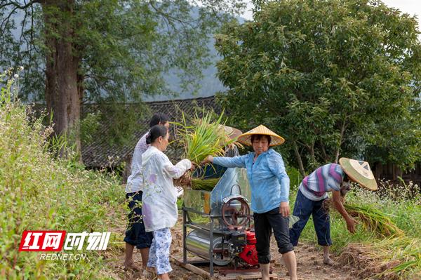 当地干群抢抓晴好天气齐心协力抢收稻谷,确保颗粒归仓。唐明登/摄
