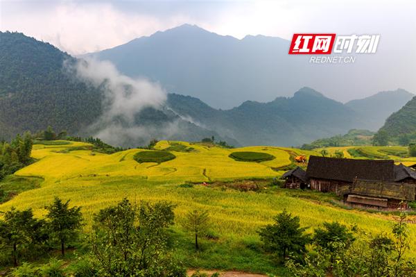 9月14日,东安县塘家山梯田,订单有机稻谷喜获丰收,全面进入收割期,层层叠叠的金黄梯田一派繁忙景色。