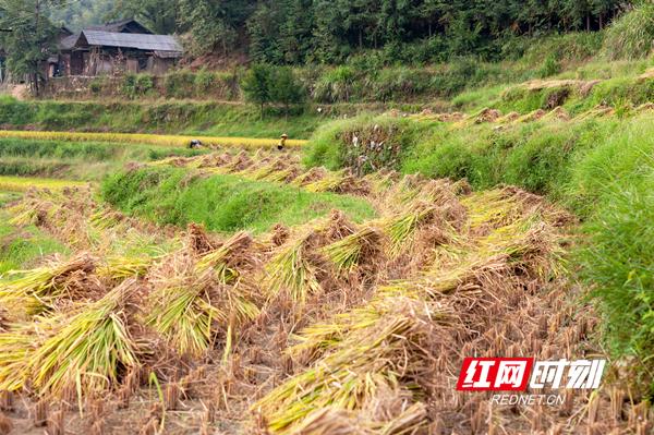 割倒堆叠的稻禾排列成丰收的曲线。