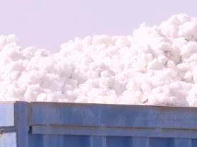2019丰收季:今年我国棉花总产量预计将达到616万吨