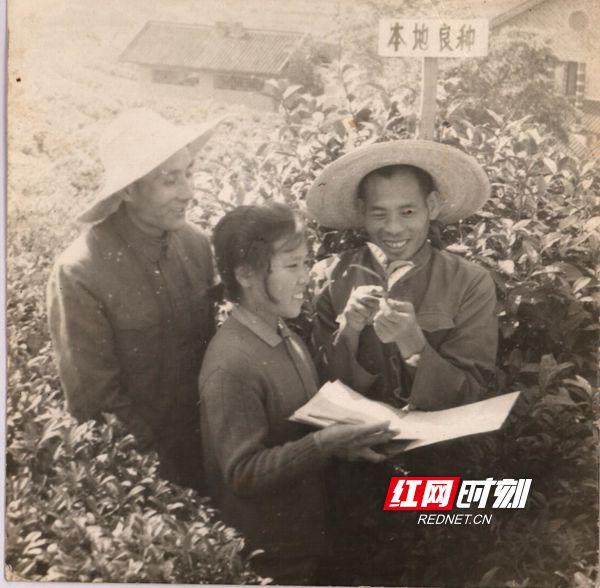 1972年,高级农艺师蒋冬新(右)、唐明德(左)与技术员周剑琴(中)在进行茶叶品种观察记录。_副本.jpg