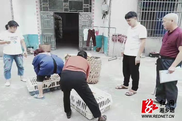 """望春门街道:国庆扶贫""""不放假""""  优质鸡苗送到家"""