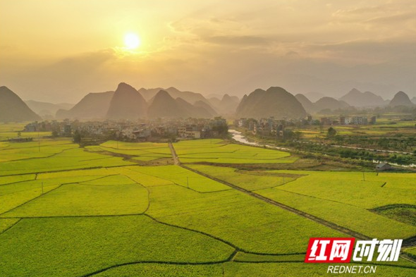 Video: Late rice grow mature in Dao County, Hunan
