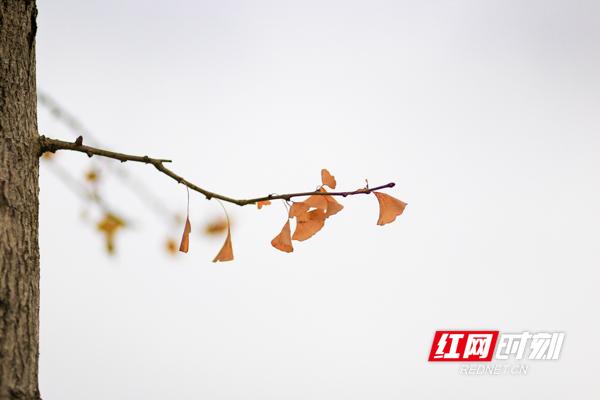 黄叶染金秋,片片惹人醉。10月14日,进入金秋时节的湖南省永州市蓝山县,处处呈现出一幅幅迷人的秋日美景。