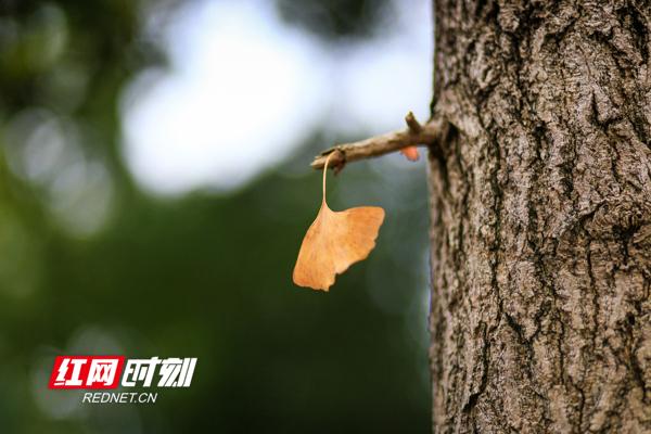 一叶知秋的美。彭华/摄