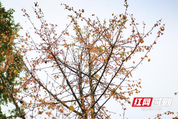 秋日斑斓,一树绚烂。彭华/摄