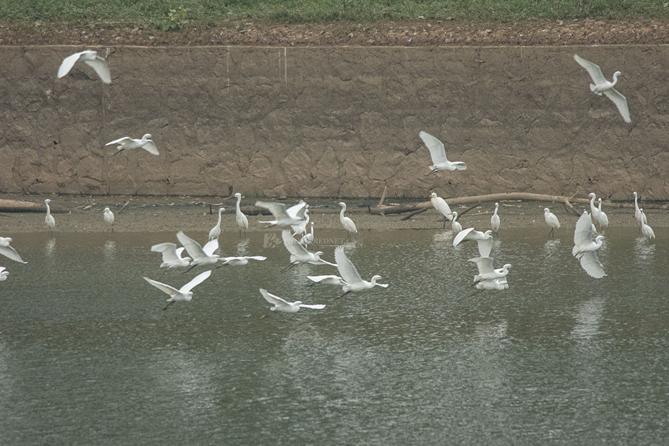 Beautiful egrets along Xiangjiang River