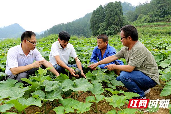 科技特派员指导农户种植新品南瓜副本.jpg