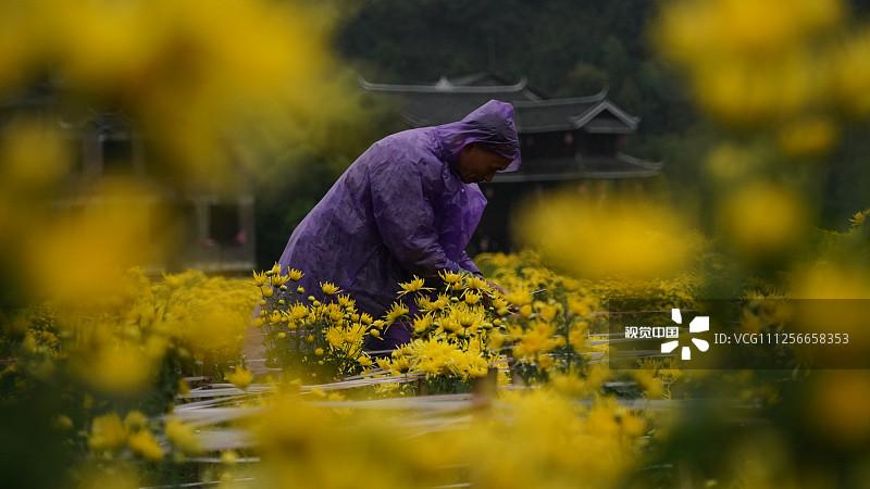 2019年10月27日,湖南怀化,人们冒雨在通道侗族自治县坪坦乡横岭侗寨观赏金丝皇菊。