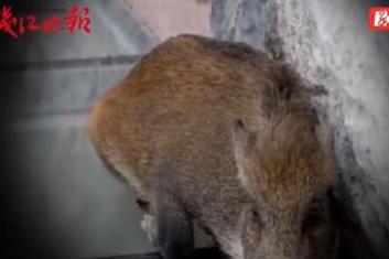 Lost wild boar freaks out on glass walkway, China