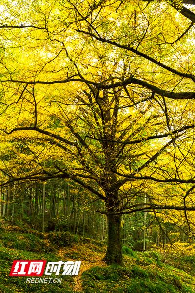 金黄色的叶子挂满树枝。(唐明登)