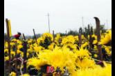 道县:一朵朵小黄菊 走出致富增收路