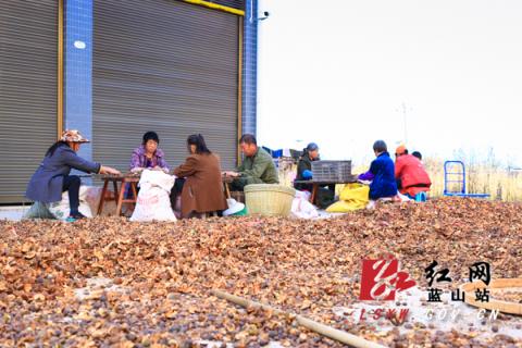 蓝山:油茶喜获丰收