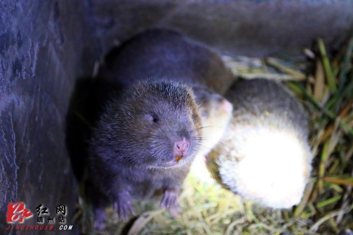 靖州:馴養竹鼠助增收 苗寨村民笑呵呵