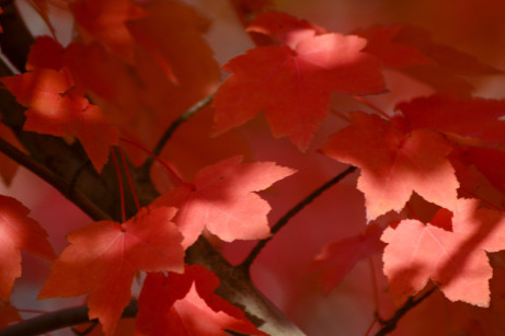 Picturesque maple trees of Hunan Agricultural University