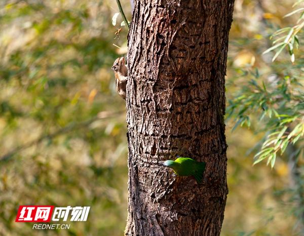 11月22日,湖南省永州市東安縣南橋鎮寺門馬皇村5組,綠意盎然,一棵蒼勁古樹上,松鼠、啄木鳥、藍翅葉鵯、馬蜂相互角逐、嬉戲、覓食,精靈世界,和諧共生。(登峰)
