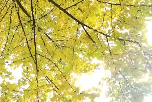 怀化:千年古银杏成为游客休闲取景地
