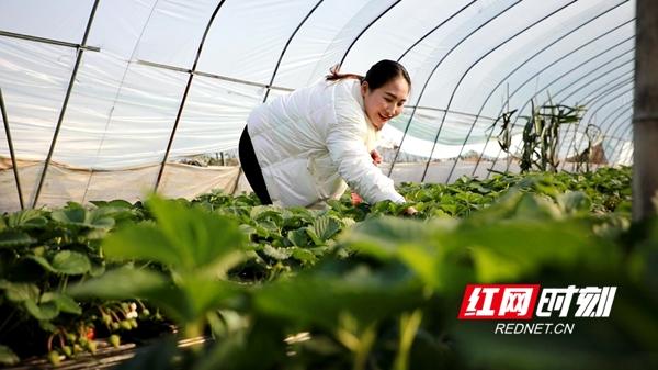 """新田:夫妻种植大棚草莓 过上幸福""""莓""""好生活"""