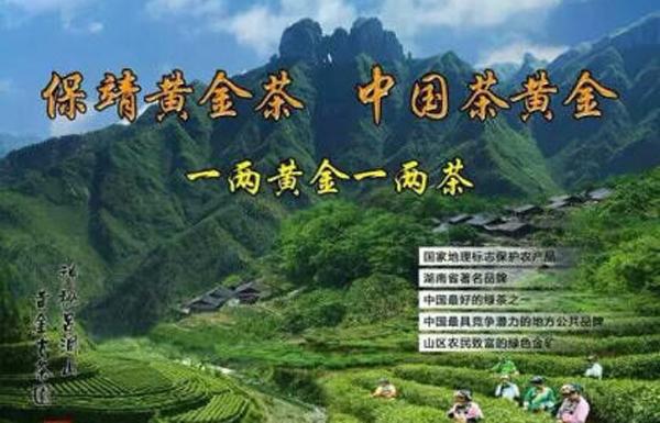 保靖黄金茶(中央电视台播出)