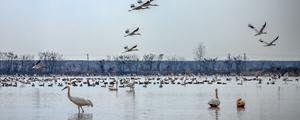 去鄱阳湖 看群鸟共舞