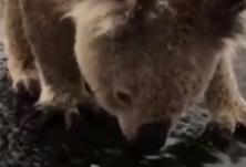 久旱逢甘霖!澳大利亚小考拉渴到舔地上的雨水