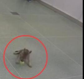 科学家意外发现小狼崽也玩抓球游戏: 是一种自然本能 像狗一样取回球