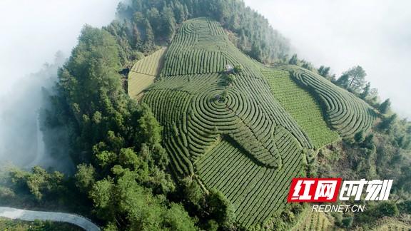 """保靖黃金茶(cha)成富民興農強縣""""綠色金礦"""""""