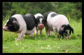 """市畜牧水产事务中心:为花猪产业开辟""""绿色通道"""""""