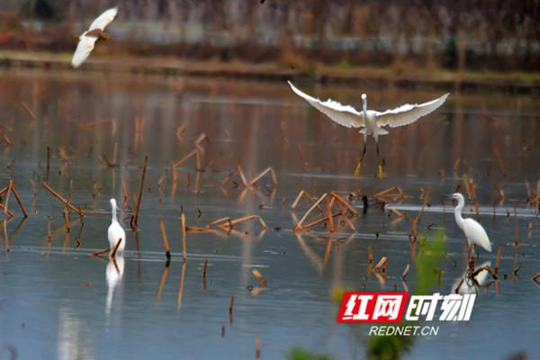 2月26日,江永县永明河国家湿地公园,一群白鹭在田间或觅食,或飞翔,或小憩,成为春天里动人的田园风景。(黄海)